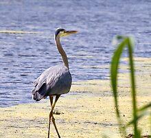 Heron by StephenCoyle