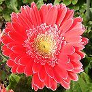 Capital Flower by NancyC
