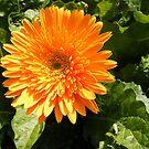 Capital Flower ~ 2 by NancyC