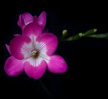 Pink Flower on Black by Miko Coffey