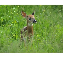 Whitetail Fawn Photographic Print