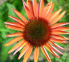 Bright Coneflower by pamdicar