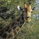 Giraffe head with acacia thorn tree by cascoly