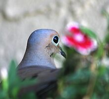 Mourning Dove  by Polly Peacock