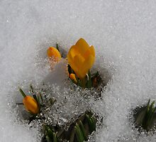 Peeking Through the Snow by Kathy Weaver