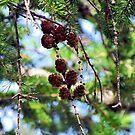 Pinecones 2 by Kallian