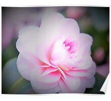Soft Pink Camellia Poster