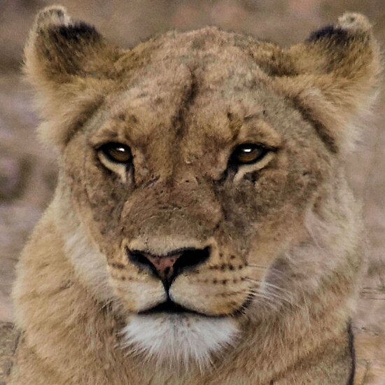 THE LIONESS by Magaret Meintjes