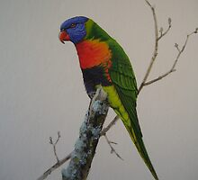 Rainbow lorikeet. by Philip Holley