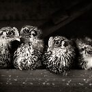 campine chicks by ozzzywoman