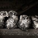 campine chicks by ozzzywoman