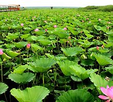 lotus Garden by fatalsweets