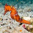 Seahorse, Bali, Indonesia by David Leonard