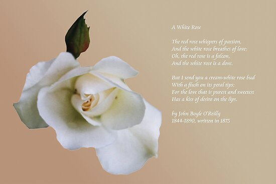 White rose by Agnes McGuinness