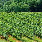 Row After Row - Glass House Winery Vineyard   ^ by ctheworld