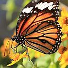 butterfly walk by malina