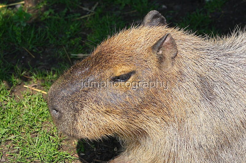 a description of the largest rodent in the world Description of a rainforest  which species best matches this description large short-tailed rodent from  it would be the ninth largest in the world.