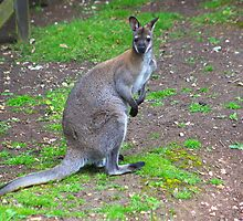 Wallaby by jdmphotography