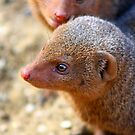 Mongoose close up ! by jdmphotography