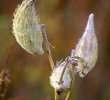 Milkweed by rdshaw
