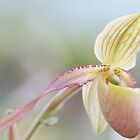 Dreamy Cypripedioideae Orchid by Lindie Allen