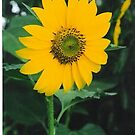 Helianthus annuus by Julie Sherlock