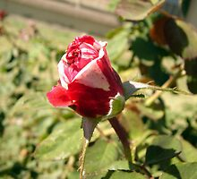 Red & White Rosebud by down23