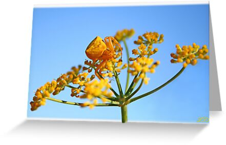 Goldenrod Crab Spider by Kuzeytac