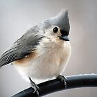 I'm Not a Tundra Titmouse! by WalnutHill