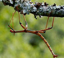 Walking Stick by Dennis Stewart