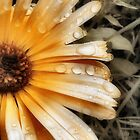 Raindrop Calendula by Duncan Waldron