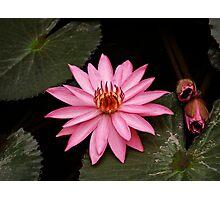 plant types #45, lotus flower Photographic Print