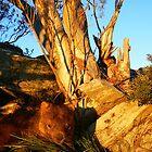 australian wombat by Donovan wilson