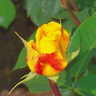 Yellow Rose  by rosswilliams