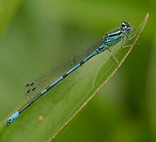 Azure Damselfly by Minne