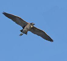 Black-crowned Night Heron by tomryan