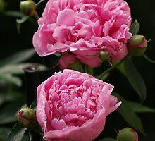 Pink Peonies by Megan Noble