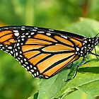 Monarch Wing Detail by Vickie Emms