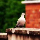 The Lonely Yorkshire Pigeon by netties001
