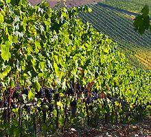 Chianti vinyard by Ken McKillop