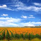 Sunflower Fields - Free State, South Africa by Qnita