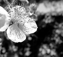 beginning of a blackberry by Nicole M. Spaulding
