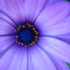 purple daisy  by mimaloo