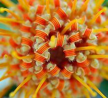 Orange Pincushion Protea Centre by Renee Hubbard Fine Art Photography