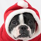 Boston Terrier Santa by Misti Hymas