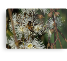 Bee on gum blossom Diamond Creek Track 201502211546 Metal Print