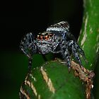 Jumping Spider Pose 2 by sarahncraig