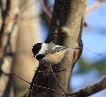 Chickadee by HALIFAXPHOTO