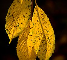 Backlit Leaves 4 by David Chappell