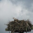 Fledgling Osprey  by Agood
